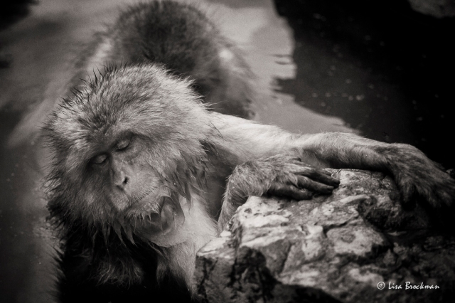 LisaBrockman_20160221_SnowMonkeys_139-Edit